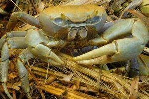 Crabi de pământ