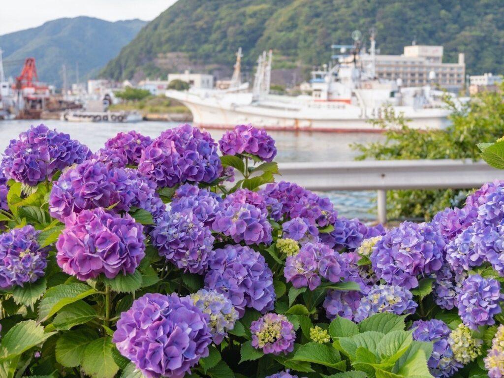 Hostensia - Kamakura